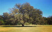 thumbnail image of large tree in Govalle Park